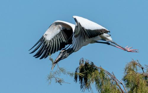 Wood Stork With Branch by Herb McClelland - Nature