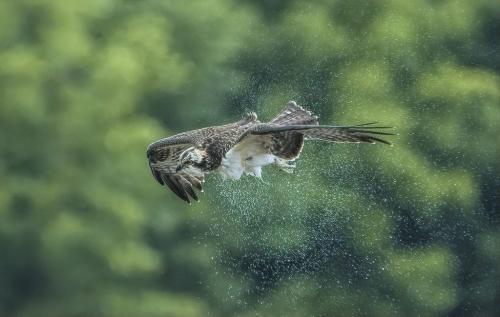 Osprey 7.5 8.5 8 24 DP Gary Love  Nature Master