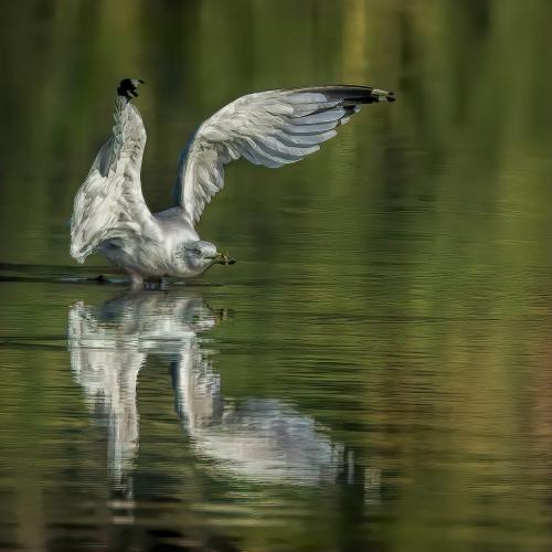 Ring Billed Gull 7 7 6 20 Gary Love  Nature Master