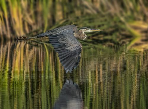 Great Blue Heron 7 6.5 5 18.5 Gary Love  Nature Master