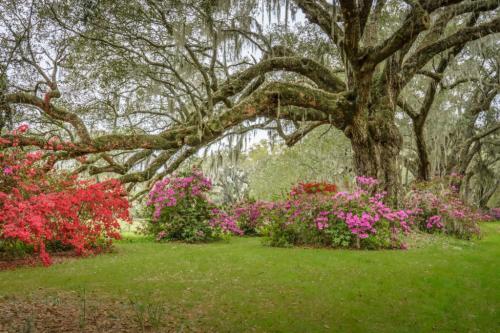 Azaleas At Magnolia Plantation 6.5 7 7.5 21 Kathryn Martin  Pictorial Gold