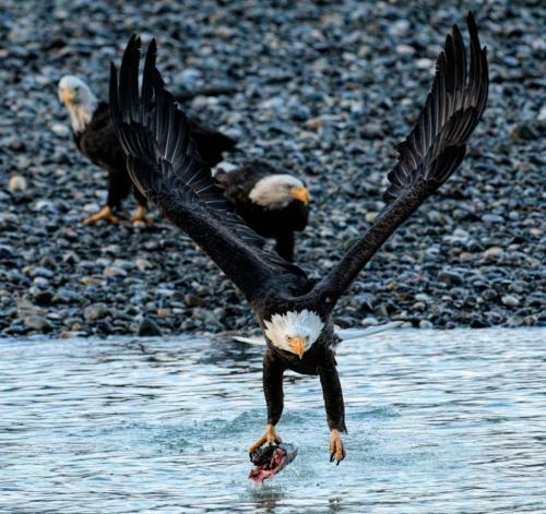 Bald Eagle Stealing Salmon 6 7.5 7.5 21 Peter Bartens  Nature Master