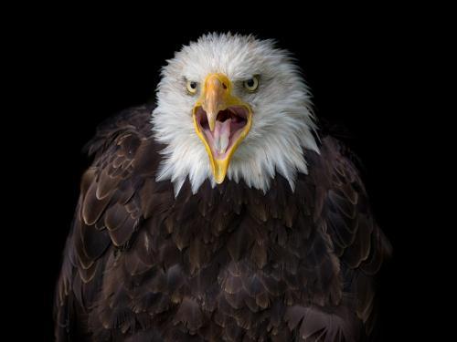 Bald Eagle 9 8 8.5 25.5 HM GPP Brian Floyd  Nature Gold