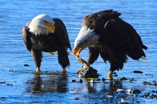 Bald Eagles Feeding 5.5 7.5 6 19 Peter Bartens  Nature Master