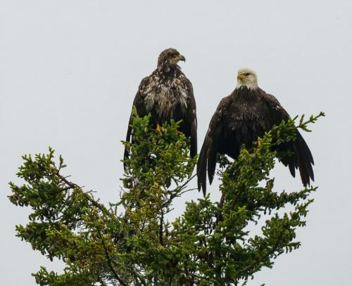 Bald Eagles 7 8 8 23 SPP Andy Langs  Nature Silver