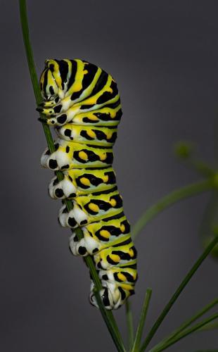 Black Swallowtail Caterpillar 8 8.5 9 25.5 HM DP Doug Doede  Nature Master