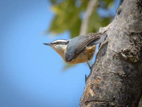 Nuthatch 7 8.5 7 22.5 HM BPP Mike Mulvale  Nature Bronze