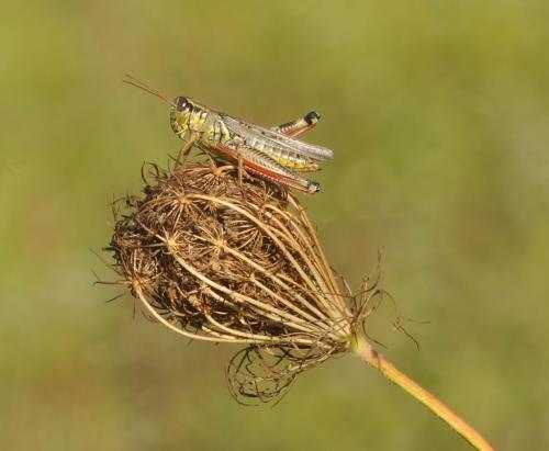 Red Legged Grasshopper 8 8 7.5 23.5 Heather Engel  Nature Master