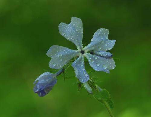 Wild Blue Phlox 7.5 8.5 7.5 23.5 Heather Engel  Nature Master