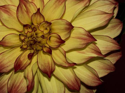 Dahlia 1 8.5 8 8.5 25 DP David Seldon  Pictorial Master