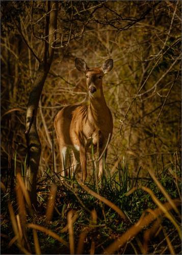 Female White-Tailed Deer 6.5 7 8.5 22 Bela Acs  Nature Master