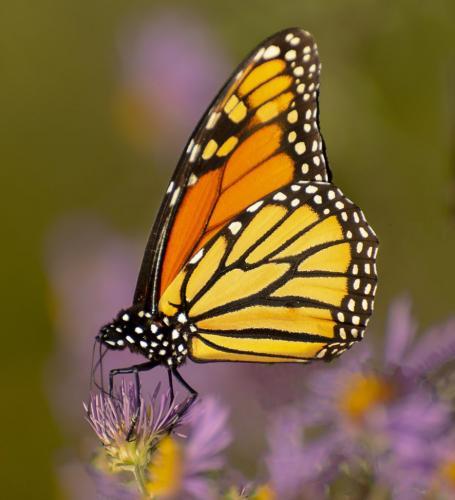 Monarch Butterfly 7 7.5 7.5 22 Elzbieta Piskorz  Nature Gold