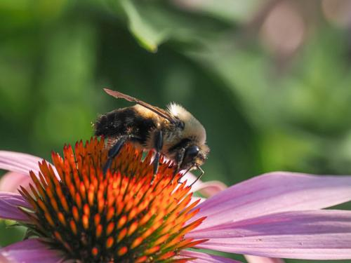 Bumble Bee On Echinacea 6.5 6 5.5 18 John Strung  Nature Gold