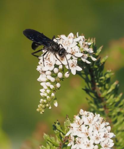 Great Black Wasp 7 7 7.5 21.5 John Strung  Nature Gold