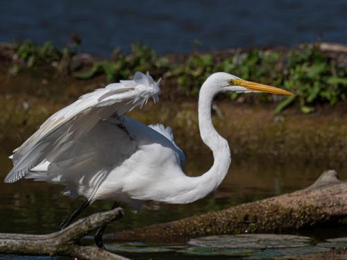 Great Egret 6 7.5 7 20.5 John Strung  Nature Gold
