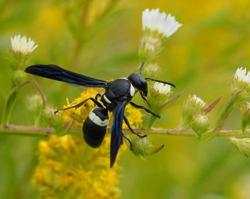 Four-Toothed Mason Wasp 7.5 7.5 7.5 22.5 Colleen Bird  Nature Gold