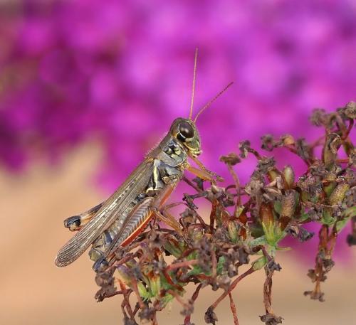 Meadow Grasshopper 8.5 8.5 8 25 HM GPP Colleen Bird  Nature Gold