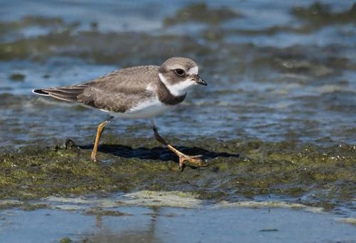 Semipalmated Plover 7.5 8 7 22.5 Colleen Bird  Nature Gold