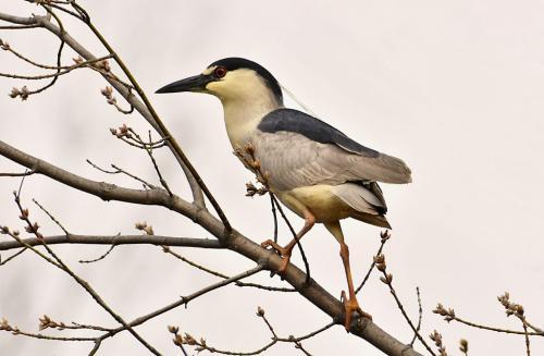 Black-Crowned Night Heron1 8 8 8 24 GPP Greg Alderson  Nature Gold