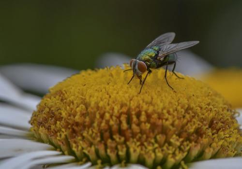 Green Bottle Fly 7.5 7.5 8 23 GPP Greg Alderson  Nature Gold