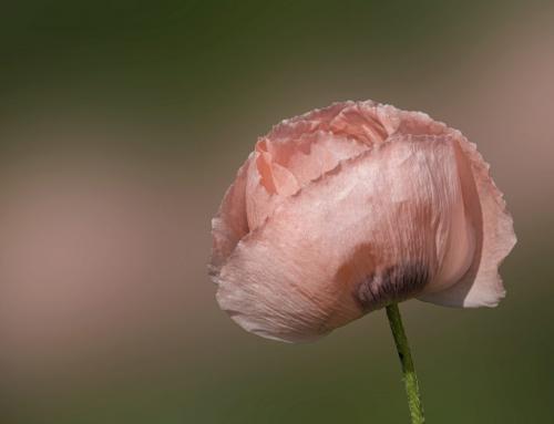 Soft Pink Colors 7 7 7.5 21.5 Elzbieta Piskorz  Pictorial Gold