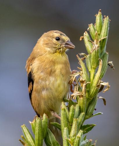 Goldfinch Feeding 7.5 7.5 8 23 GPP David Evans  Nature Gold