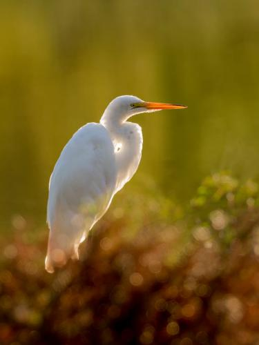 Great Egret 5 7.5 8 20.5 Brian Floyd  Nature Gold