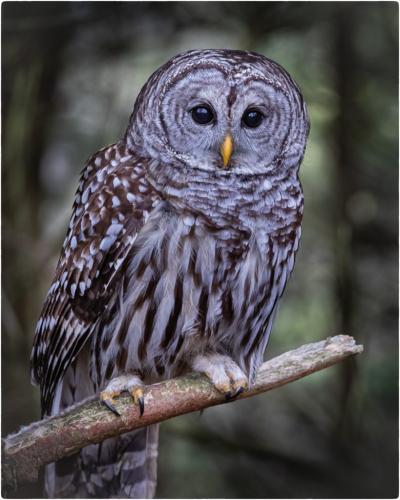 Great Grey Owl 7.5 7 8 22.5 Jim Sykes  Nature Gold
