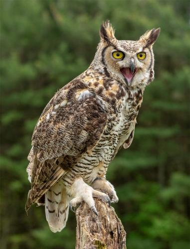 Great Horned Owl #2 9 8 8 25 HM GPP Terry Ross-Poulton  Nature Gold