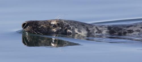 Grey Seal 6.5 7.5 7 21 David Seldon  Nature Master
