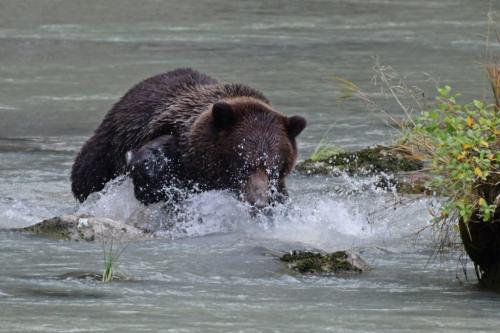 Grizzly Bear Chasing Salmon 6.5 7 5.5 19 Peter Bartens  Nature Master