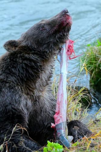 Grizzly Skinning Salmon 7 9 7.5 23.5 Peter Bartens  Nature Master