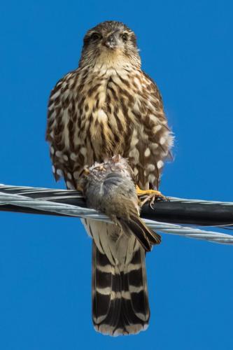 Cooper'S Hawk With Prey. 7 7.5 8 22.5 SPP Geoffrey Skirrow  Pictorial Silver