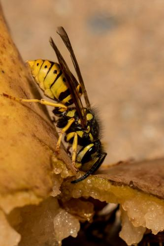 Yellow Jacket On A Pear 7.5 8 7.5 23 SPP Geoffrey Skirrow  Nature Silver