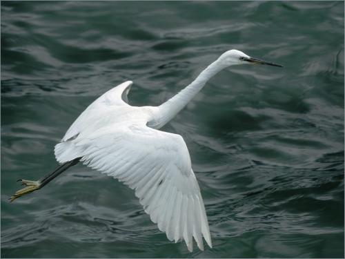 Little Egret Fishing 6.5 7.5 8 22 SPP Peter Chow  Nature Silver