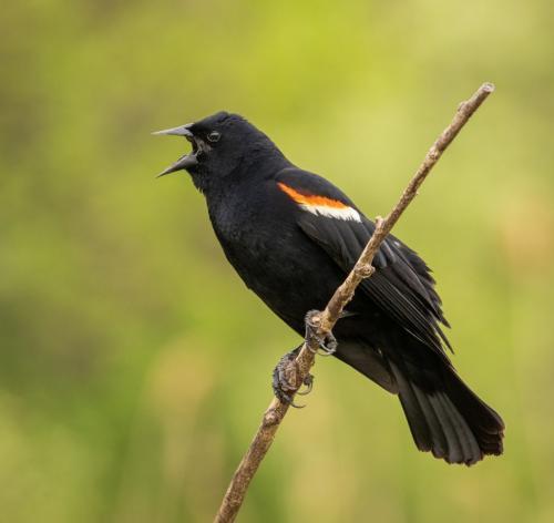 Male Red-Winged Blackbird  7.5 9 8.5 25 HM GPP David Evans  Nature Gold