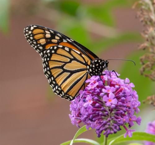 Monarch Butterfly On Butterfly B 6.5 7.5 7.5 21.5 Terry Ross-Poulton  Pictorial Gold