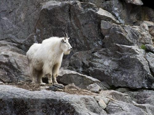 Mountain Goat 8 9 7.5 24.5 DP David Seldon  Nature Master