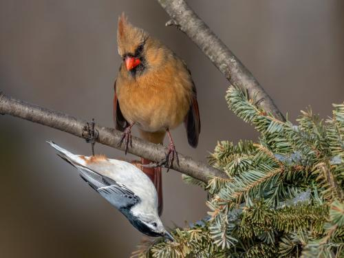 Northern Cardinal and White breasted Nuthatch by Brian Floyd - Nature