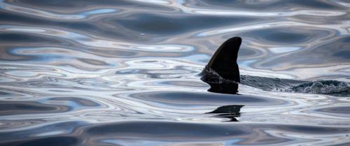 Orca Near Victoria 6 7 6 19 David Evans  Nature Gold