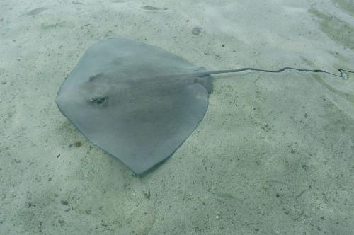 Sting Ray 6.5 7.5 7.5 21.5 Roy Oldfield  Nature Gold