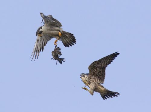 Peregrine Feeding Juvenile 9 8 9 26 HM DP David Seldon  Nature Master