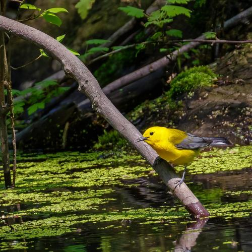 Prothonotary Warbler 7 7 6 20 Jim Thomson  Nature Gold