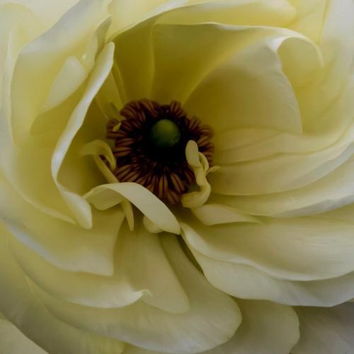 Rannunculus In Bloom. 6 6.5 7.5 20 Judy Moniz  Pictorial Silver