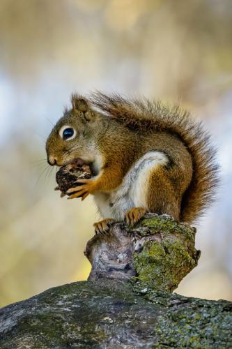 Red Squirrel 8.5 7.5 8 24 GPP Jim Thomson  Nature Gold