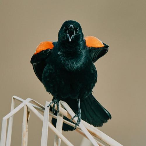 Red Wing Blackbird 6 7.5 7.5 21 Victor Turczynski  Nature Gold