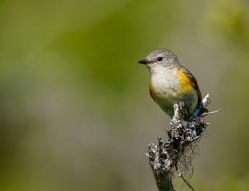Solitary Vireo 6.5 8 8 22.5 SPP Andy Langs  Nature Silver