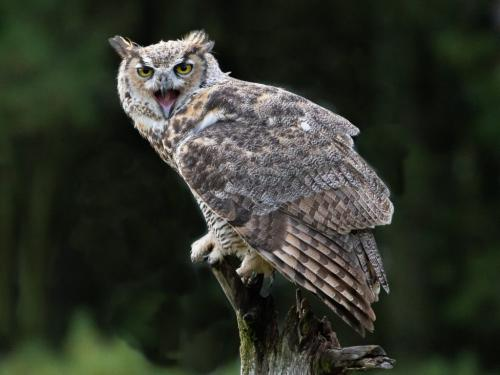 Great Horned Owl 8 7.5 8 23.5 HM SPP Ted Buck  Nature Silver