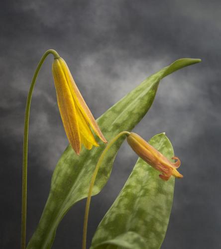 Trout Lilies 7.5 8 8 23.5 Doug Doede  Nature Master