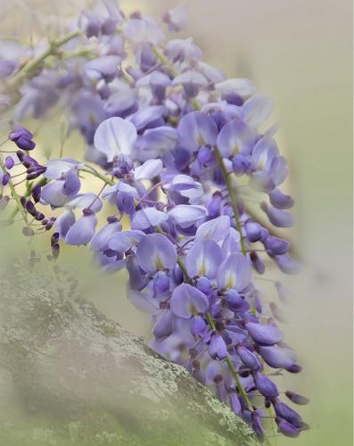 Wisteria 6 6 7.5 19.5 Judy Boufford  Pictorial Gold